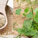 Psyllium Leading Supplier - Organic Products India