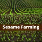 Sesame Farming